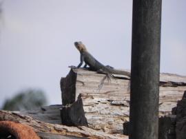 HUGE Lizards Everywhere