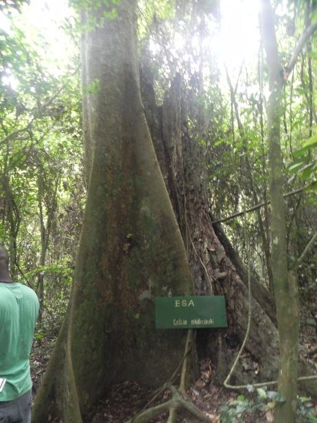 I love trees. Kakum Natl Park